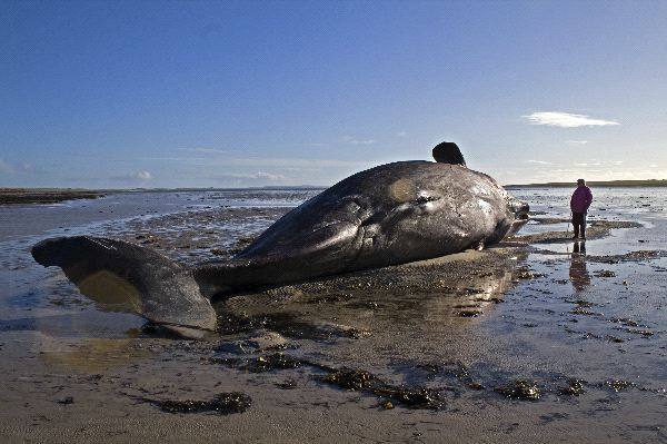 Beached Whale in Scotland