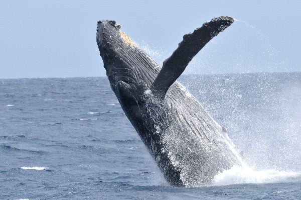 Beautiful Whale Breaching Out The Water