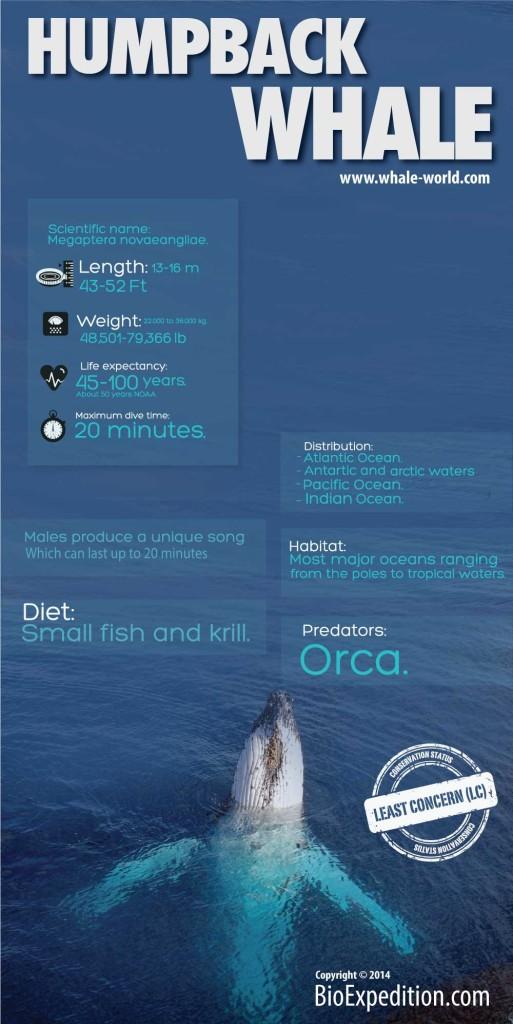 Megaptera novaeangliae infographic