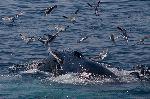 Humpback Whale And Seagulls