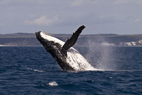 Humpback Whale Breaching In Australian Waters