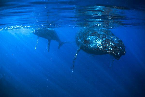 Humpback Whale Cow And Calf - Megaptera novaeangliae