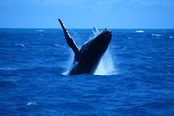 Humpback Whale In Open Waters