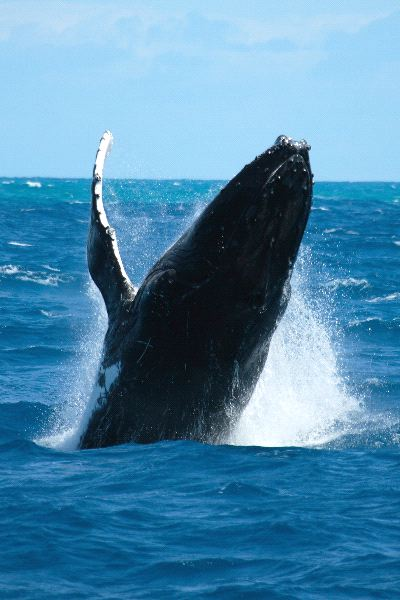 Ocean Whales Facts Whale in Pacific Ocean