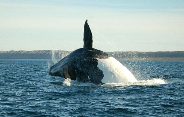 Whale Jumping in Argentina