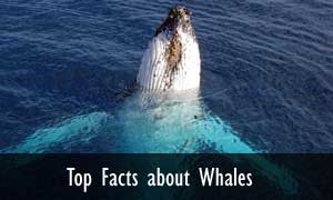 top-facts-whales